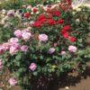 きみは薔薇より美しい