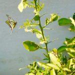 蜜柑の木に舞う、アゲハチョウ。