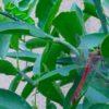 アゲハチョウの幼虫と赤とんぼ、そんな折衷した季節に『日の名残り』を…