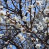 昨夜は半月と日周運動を撮り、本日は早咲き桜を撮ることが出来たのだ…