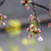 雨天の下、膨らんだ蕾から雫が落ちる。開花は、まだまだお預けなのだろう…