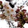 雨雫に濡れる桜の蕾。すでに綻ぶものもあり。夜は、暫く振りに月を撮ったのだ…