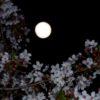 帰宅後、月下の夜桜撮影に歩く。満月と散りつつある桜花は、良く似合うのか?…