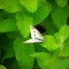 うちの周りに繁るミントは、チョウにとっても楽園らしい。あと、飛行機に乗って独り旅する夢を見た…