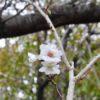 落ち葉の散る季節、ふと見上げると、桜の花が開いていた。コスモスもまた、その下で咲いていたのだ…