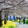 川沿いの桜並木を散策したのだ。何処までも、咲き誇る花の姿を求めて…(上)