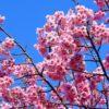 川沿いの桜並木を散策したのだ。何処までも、咲き誇る花の姿を求めて…(下)