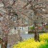 ちょっと肌寒いけれども、桜が咲きはじめているのだ…