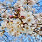 桜咲き、次の元号が発表された。良いものですね。この季節、新しい時代…