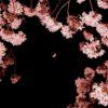 夜桜の向こうに浮かぶ、月を撮ってみたのだけれども…
