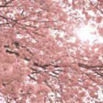 満開の桜をP900で撮る。あの機能を使って、ソメイヨシノをピンク色に染めるのだ…