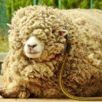 羊の毛刈り実演を、初めて見学したのだ…(上)