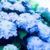 梅雨の晴れ間に、咲き誇る紫陽花よ。ゆうべは十日夜の月も撮ったのだ…