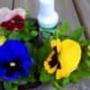 パンジーを花園に植え、SACDに耳を傾ける。朝陽もまた麗しいのだ…