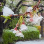 この頃合の降雪は、さて10年ぶりくらいだろうか?桜の枝に雪が積もった朝なのだ…