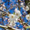 今年も桜の花が咲き始めました。昨年や一昨年よりも少し早いのかなあ…