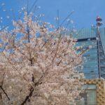 桜が花開く。誕生日も近いので、こうして巨匠たちのCDをまとめて買ったのだ…