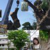 サイカチの木が切られていた
